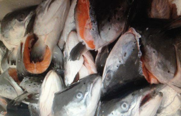 Головы лосося