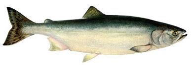На шести лососевых реках Сахалина устанавливают РУЗы