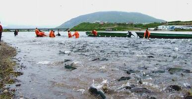 Россия провожает лето богатым уловом лосося