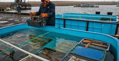 Минсельхоз запретил промышленное рыболовство устриц в Приморье до 31 декабря