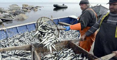 Штаб пелагической путины: рыбаки удачно осваивают скумбрию — вылов вырос более чем в 2 раза
